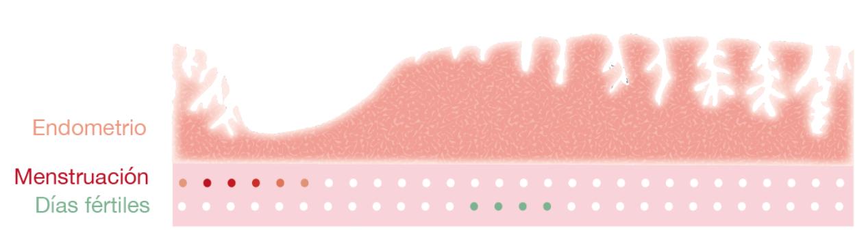 Ciclo menstrual - - Médica Fértil
